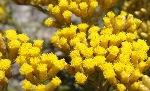 italian-helichrysum-anti-bruising-rejuvenating