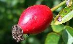 rose-hip-vitamin-A-C-revitalizes